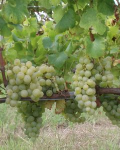 semillon-bunch-of-vines